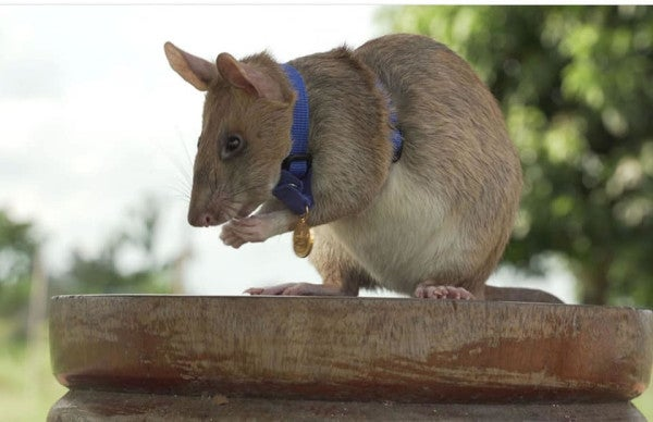 This adorable little rat is trained to sniff out landmines — and he's way better than EOD