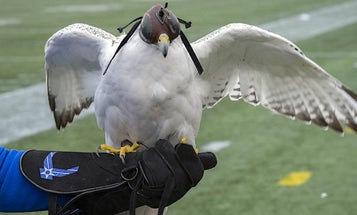 Air Force Academy Mascot Suffered 'Life-Threatening Injuries' During West Point Prank