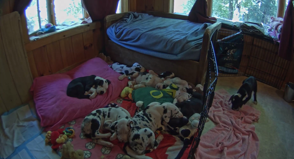 Watch Live: These Great Dane Puppies Will Grow Up To Be Service Dogs