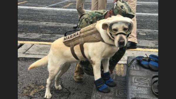 Frida The Rescue Dog Is Saving Lives After Mexican Earthquake