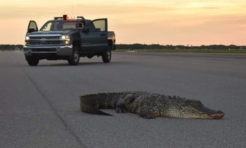 The Air Force had to use a loader to remove a rogue gator from the MacDill flight line