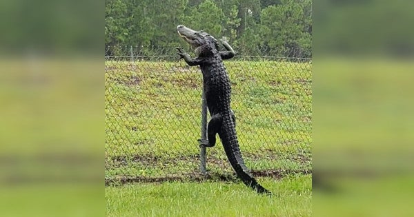 Watch a gator effortlessly scale a fence onto NAS Jacksonville