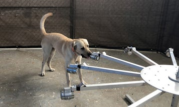 The Army is training dogs to detect COVID-19