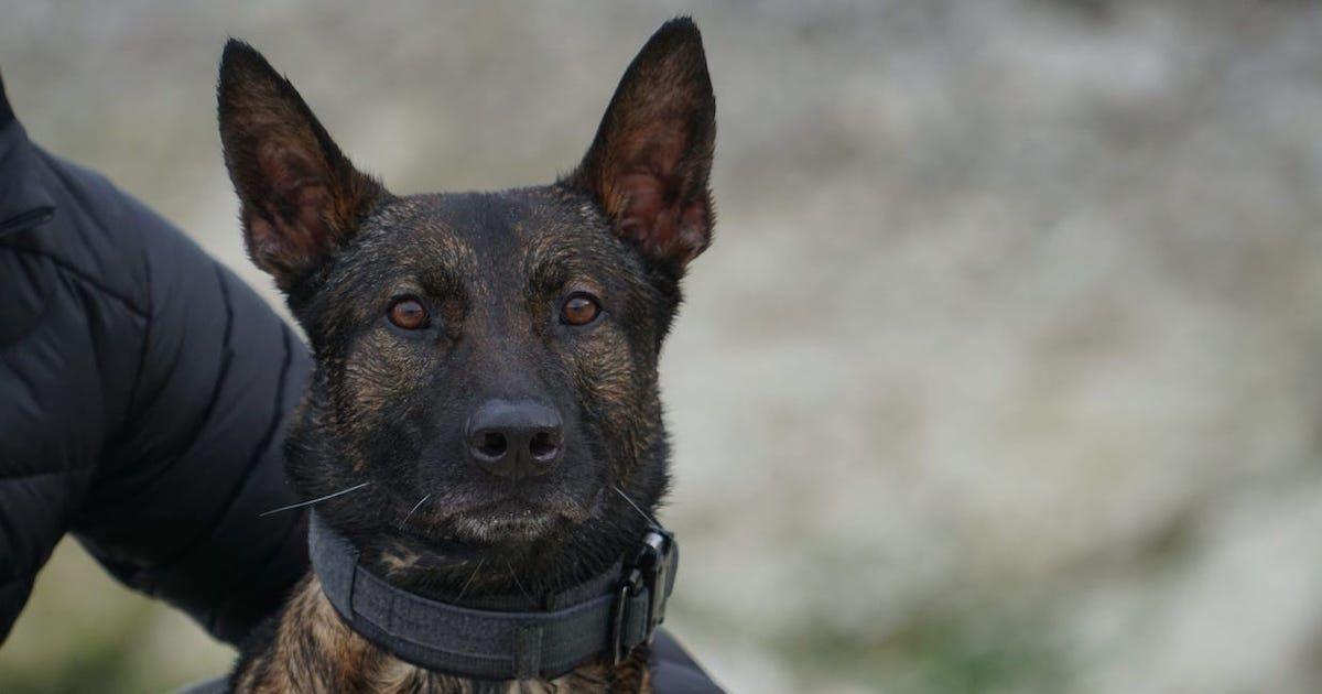 Kuno, a military working dog