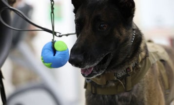 Cute Air Force dog gets physical therapy after heat-related injuries