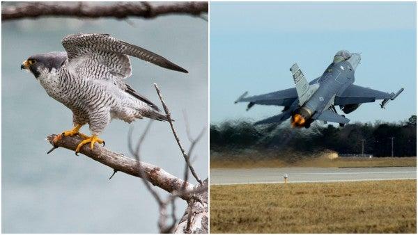 A true falconer: Air Force pilot flew F-16 Fighting Falcon, now rehabs peregrine falcons