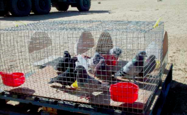 That time the 1st Marine Division brought pigeons to the 2003 invasion of Iraq