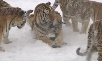 Watch Tigers Tear A Drone Out Of The F**cking Sky