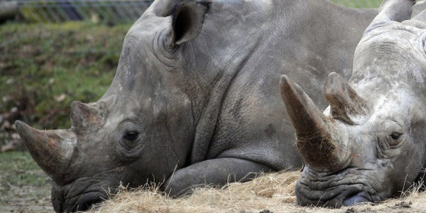 Poachers Break Into A French Zoo, Kill Rare White Rhinoceros In Cold Blood
