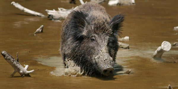 Wild Pigs Kill 3 ISIS Fighters, Restore Some Karmic Balance To The Universe