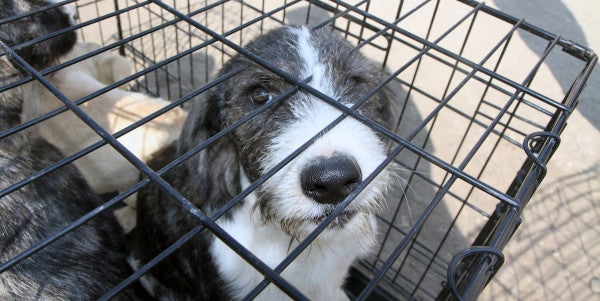 Lawmakers Demand Answers On VA Experiments That May Kill Dogs