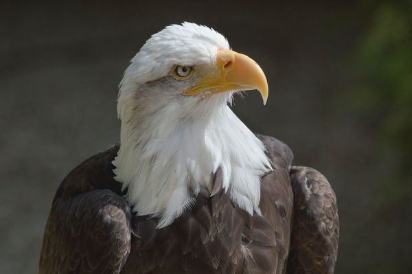 Virginia Man Brutally Kills Bald Eagle Because It Ate Fish From His Pond