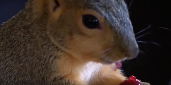 Hero Pet Squirrel Savages Burglar To Defend Owner's Gun Collection