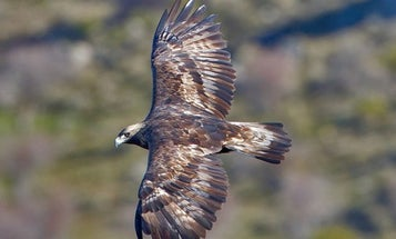 Killer Golden Eagles Take To The Skies Over France To Slay Drones