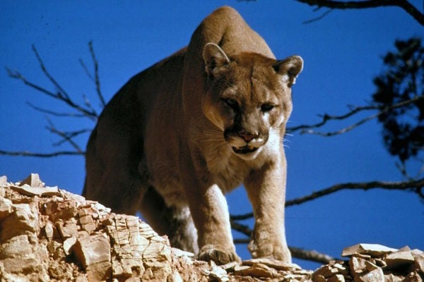 These 5 Animals Can Be Hunted In North America, But They Are Not For The Faint Of Heart